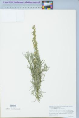 Artemisia ludoviciana subsp. redolens image