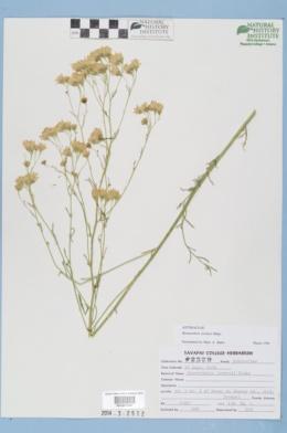 Hymenothrix loomisii image