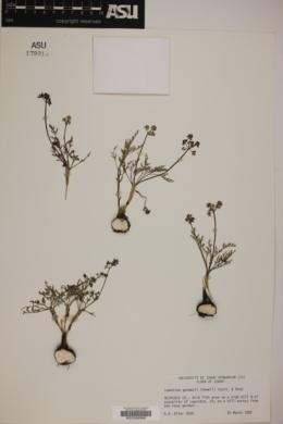 Image of Lomatium gormanii