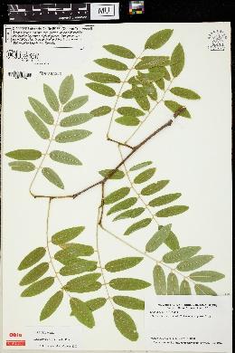Image of Cladrastis delavayi