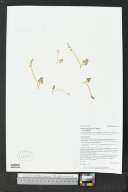 Botrychium simplex var. simplex image