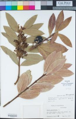 Image of Acokanthera oblongifolia