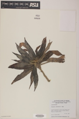 Dracaena deremensis image