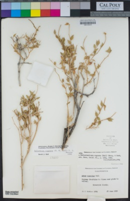 Image of Xylorhiza cognata