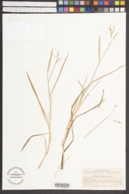 Image of Paspalum amphicarpum