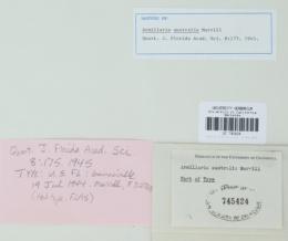 Armillaria australis image