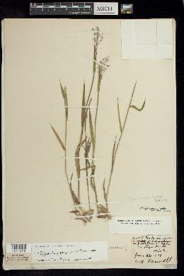 Panicum praecocius image