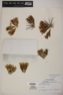 Ferocactus cylindraceus subsp. cylindraceus image