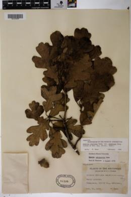 Quercus stellata var. araniosa image