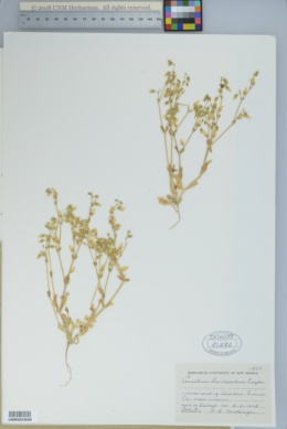 Cerastium brachypodum image