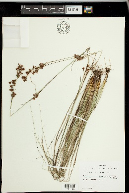 Rhynchospora torreyana image