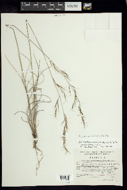 Aristida pansa image