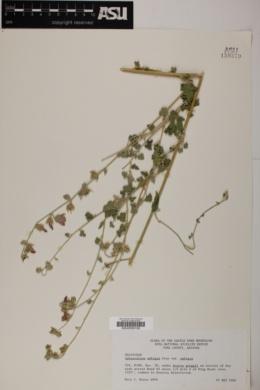 Sphaeralcea ambigua subsp. ambigua image