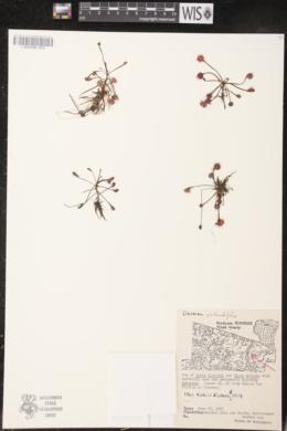 Drosera rotundifolia image
