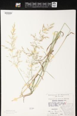 Agrostis gigantea image