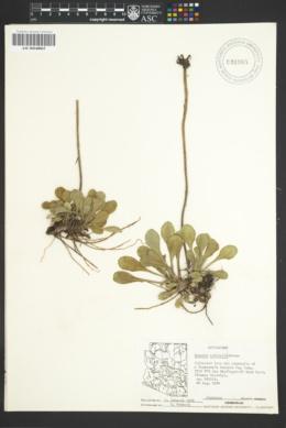 Senecio actinella image