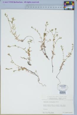 Image of Cryptantha clevelandii
