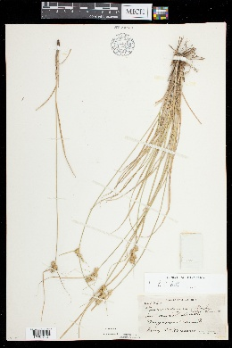 Carex arkansana image