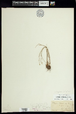 Trichophorum clintonii image