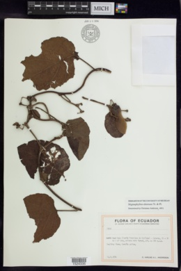 Image of Stigmaphyllon alternans
