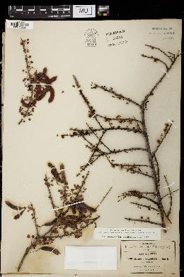 Mimosa zygophylla image