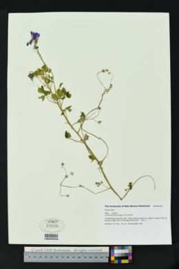 Oxalis rosea image