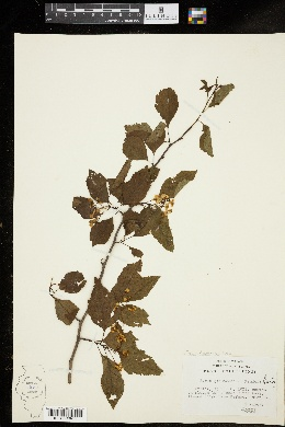 Image of Malus glaucescens