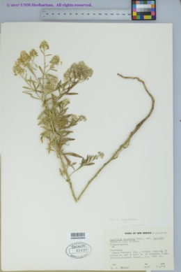 Lepidium alyssoides image