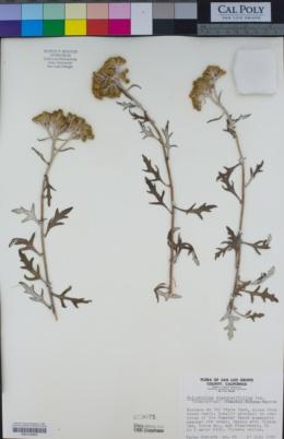 Eriophyllum staechadifolium image