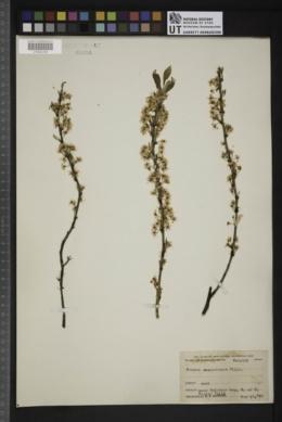 Image of Prunus susquehanae