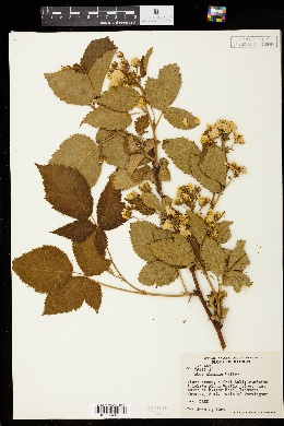 Image of Rubus almus