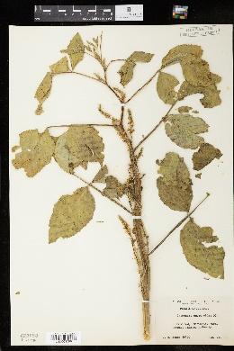 Image of Cyamopsis psoraloides