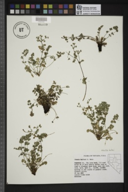 Image of Potentilla baileyi