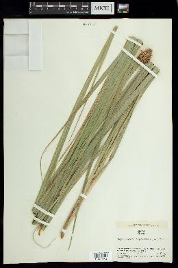 Image of Rhynchospora cephalotes