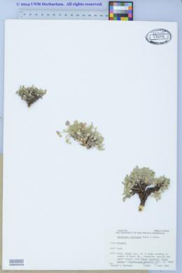 Shoshonea pulvinata image