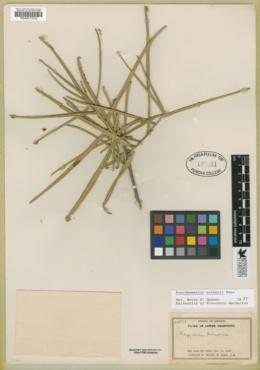 Forchhammeria watsonii image