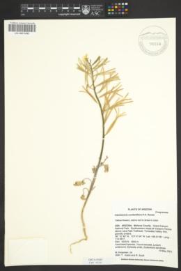 Camissonia confertiflora image