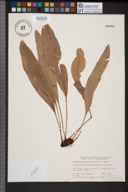 Elaphoglossum crassifolium image