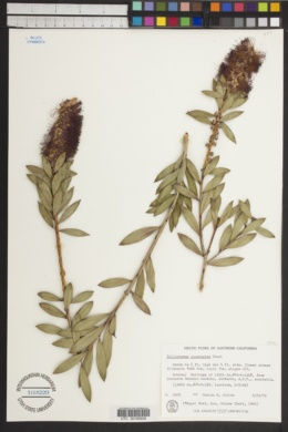 Image of Callistemon acuminatus