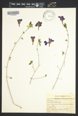 Ruellia californica image