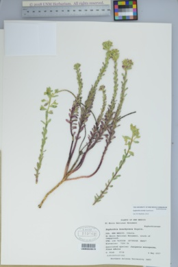 Image of Euphorbia lurida