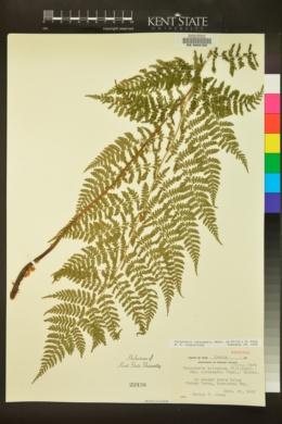 Dryopteris intermedia image