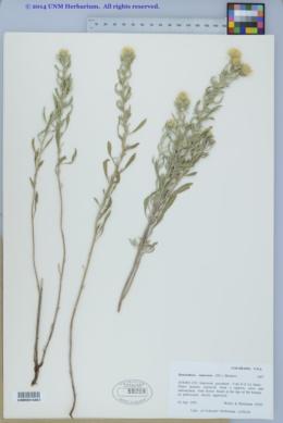 Heterotheca canescens image