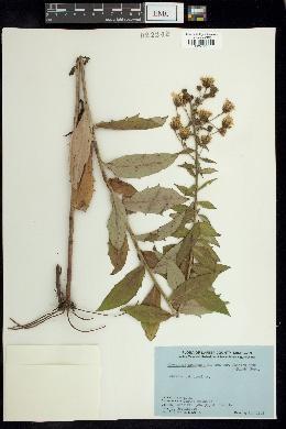Hieracium canadense var. fasciculatum image