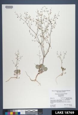 Eriogonum cernuum var. cernuum image