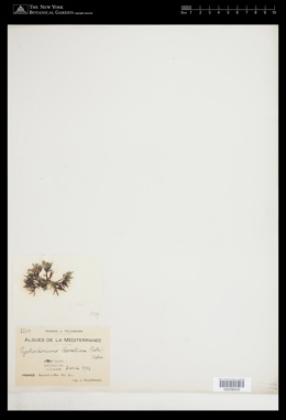 Gastroclonium clavatum image
