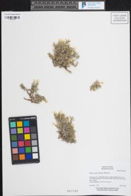 Phlox pulvinata image