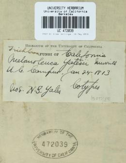 Image of Melanoleuca yatesii
