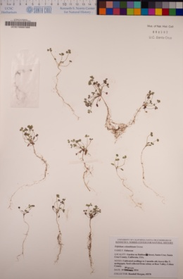 Trifolium albopurpureum image