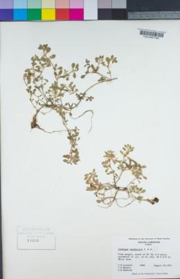 Image of Ludwigia spathulata